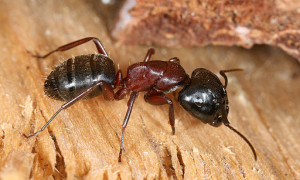 512px-Camponotus_sideview_2